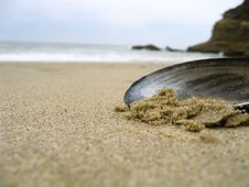 Free Mussel Shell In The Sand Royalty Free Stock Photography - 5515177