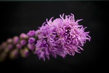 Free Purple Flower Close Up With Selective Focus Royalty Free Stock Photography - 5515237
