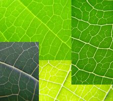Free Leaf Collage Green Stock Photography - 5515252