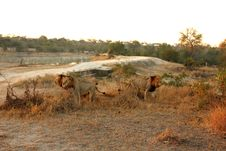 Free Lions In Sabi Sands Stock Photos - 5515283