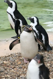Free Penguins Stock Photo - 5515410