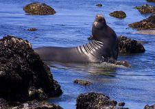 Free Elephant Seal Stock Image - 5515411