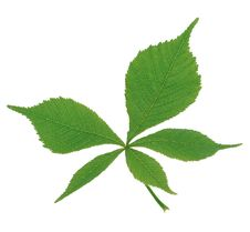 Free Green Leaf4 Royalty Free Stock Photos - 5515418