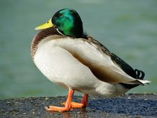 Free Duckk Standing Stock Image - 5515631