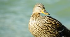 Free Female Duck Royalty Free Stock Images - 5515639