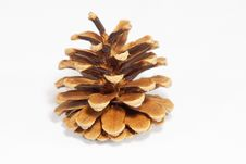 Free Fir-cone Stock Images - 5515684