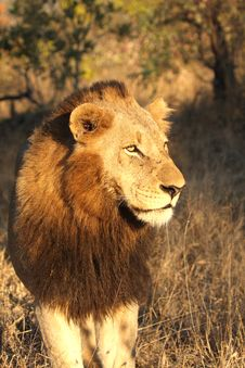 Free Lion In Sabi Sands Stock Image - 5515961
