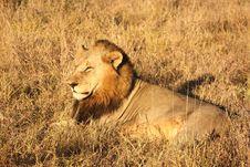 Free Lion In Sabi Sands Stock Image - 5516101
