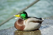 Free Smileing Duck Royalty Free Stock Photo - 5516295