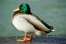 Free Smileing Duck Stock Photo - 5516370