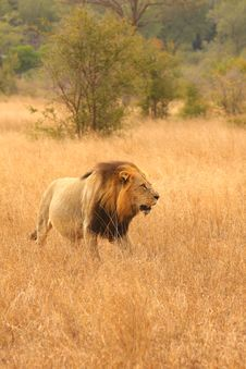 Free Lion In Sabi Sands Stock Photography - 5516522
