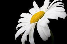 Free White Chamomile Royalty Free Stock Photo - 5516525