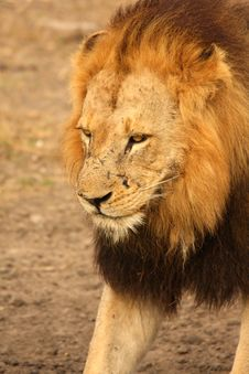 Free Lion In Sabi Sands Royalty Free Stock Photography - 5516547