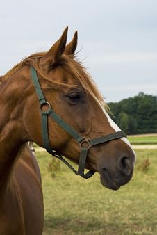 Free Portrait Of A Horse. Stock Photography - 5516692