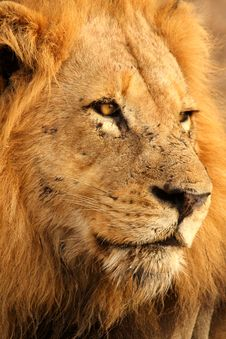 Free Lion In Sabi Sands Stock Images - 5516704