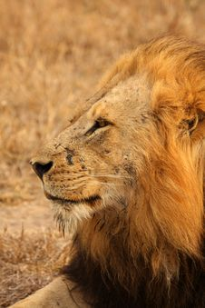 Free Lion In Sabi Sands Stock Photography - 5516742