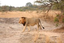Free Lion In Sabi Sands Stock Images - 5516774