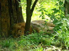 Free The Lion Royalty Free Stock Photo - 5516955