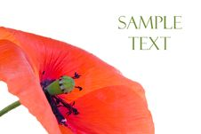 Free Red Poppy Royalty Free Stock Image - 5517166
