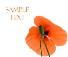 Free Red Poppy Royalty Free Stock Photography - 5517167