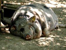 Free Sleeping Pig Stock Photos - 5517193