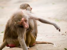 Baboons Scratching Each Other Stock Photos