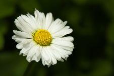 Free White Daisy Royalty Free Stock Photography - 5517307