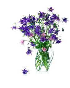 Free Bellflower Stock Image - 5517321