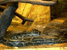 Free The Python Royalty Free Stock Photos - 5517348