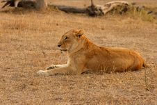 Free Lioness In Sabi Sands Stock Photography - 5517392