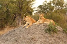Free Lioness In Sabi Sands Stock Photos - 5517523