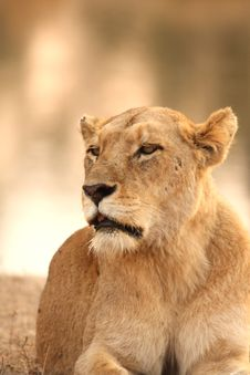 Free Lioness In Sabi Sands Stock Photography - 5517592