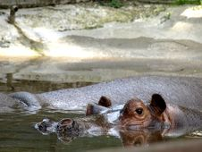 Hippos Royalty Free Stock Images