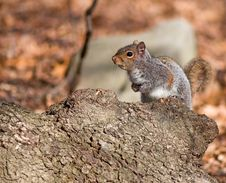 Free Cautious Squirrel Royalty Free Stock Image - 5517746