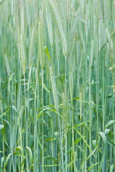 Free Green Wheat Royalty Free Stock Images - 5517749