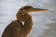 Free Heron Closeup Stock Image - 5517791