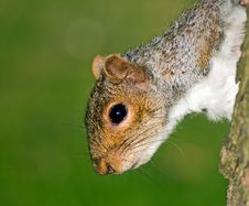 Free Squirrel Acrobat Royalty Free Stock Photo - 5517795