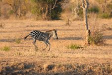 Free Zebra In Sabi Sands Stock Image - 5517861
