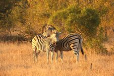 Free Zebra In Sabi Sands Stock Photography - 5517952