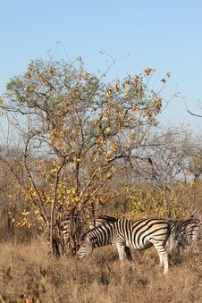 Free Zebra In Sabi Sands Stock Photography - 5518052