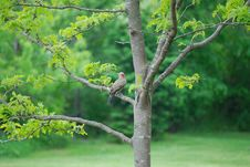 Free Gila Woodpecker Royalty Free Stock Images - 5518109