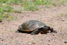 Free Painted Turtle Royalty Free Stock Images - 5518119