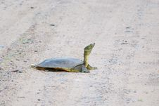 Free Long Necked Turtle Stock Photography - 5518202