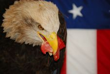 Free American Bald Eagle Stock Photos - 5518203