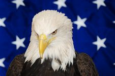 Free American Bald Eagle Royalty Free Stock Photos - 5518208