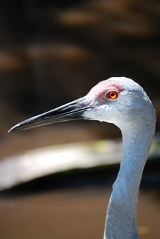 Free Sandhill Crane Stock Photo - 5518220