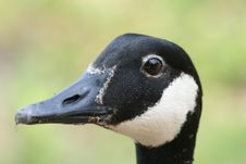 Free Canadian Goose Portrait Royalty Free Stock Photo - 5518395