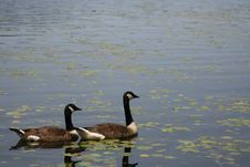 Free Canadian Goose Pair Royalty Free Stock Photography - 5518447