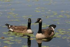 Free Canadian Goose Pair Royalty Free Stock Photo - 5518455