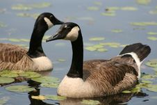Free Canadian Goose Pair Royalty Free Stock Photography - 5518457